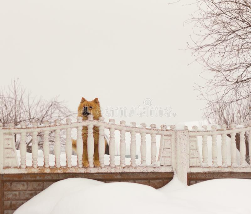 Chow φυλής σκυλιών Chow εξετάζει την οδό από πίσω από το φράκτη στοκ εικόνα με δικαίωμα ελεύθερης χρήσης