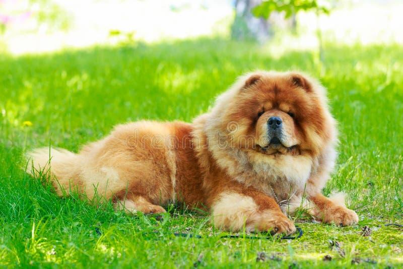 Chow φυλής σκυλιών chow στοκ εικόνα με δικαίωμα ελεύθερης χρήσης