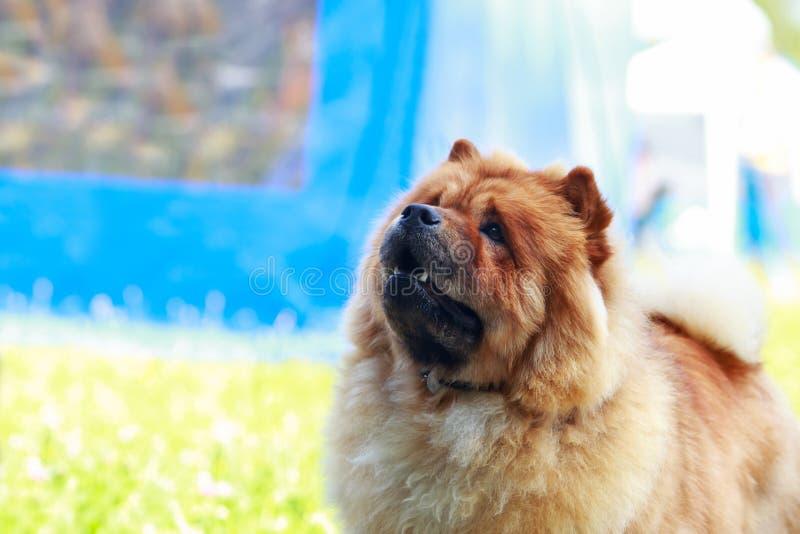 Chow φυλής σκυλιών chow στοκ φωτογραφίες