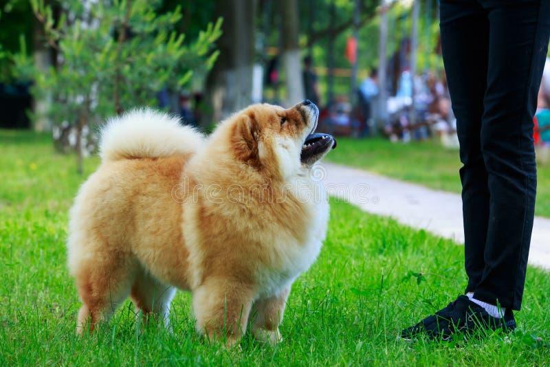 Chow φυλής σκυλιών chow στοκ εικόνες