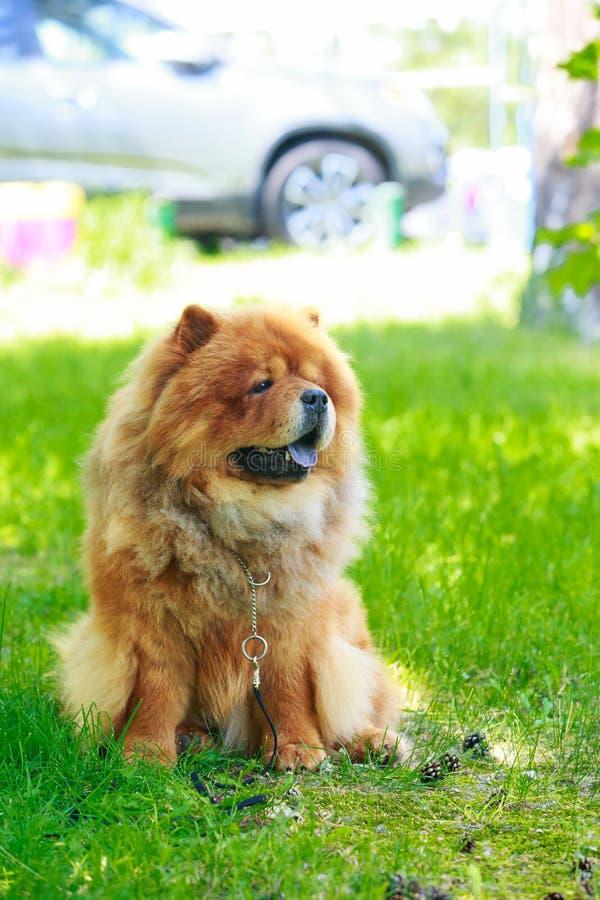 Chow φυλής σκυλιών chow στοκ εικόνες με δικαίωμα ελεύθερης χρήσης