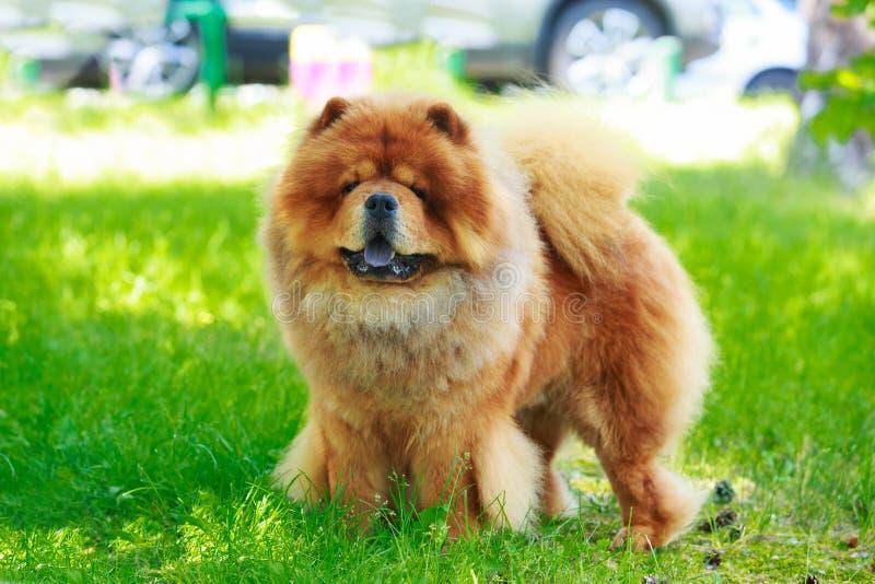 Chow φυλής σκυλιών chow στοκ φωτογραφία