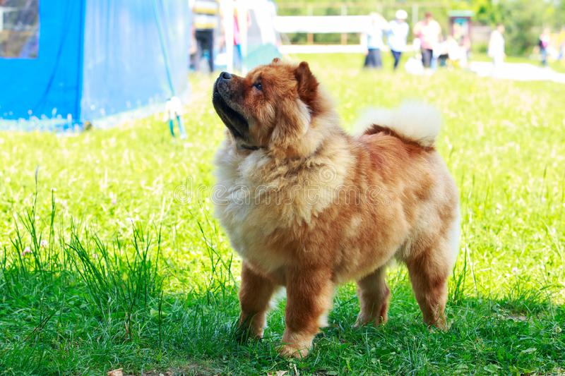 Chow φυλής σκυλιών chow στοκ εικόνα