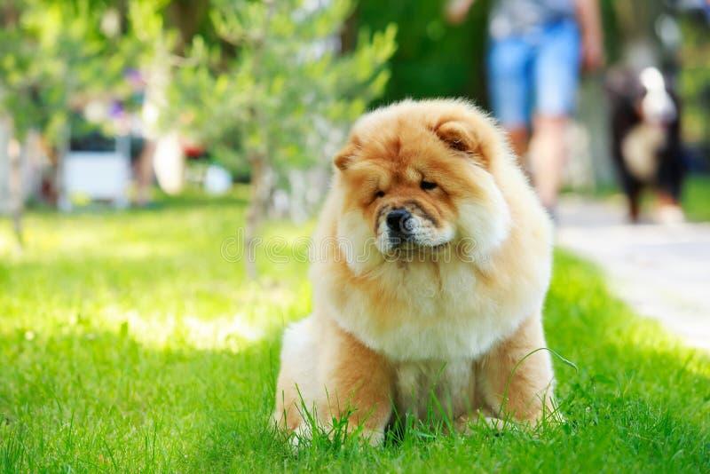 Chow φυλής σκυλιών chow στοκ φωτογραφία με δικαίωμα ελεύθερης χρήσης