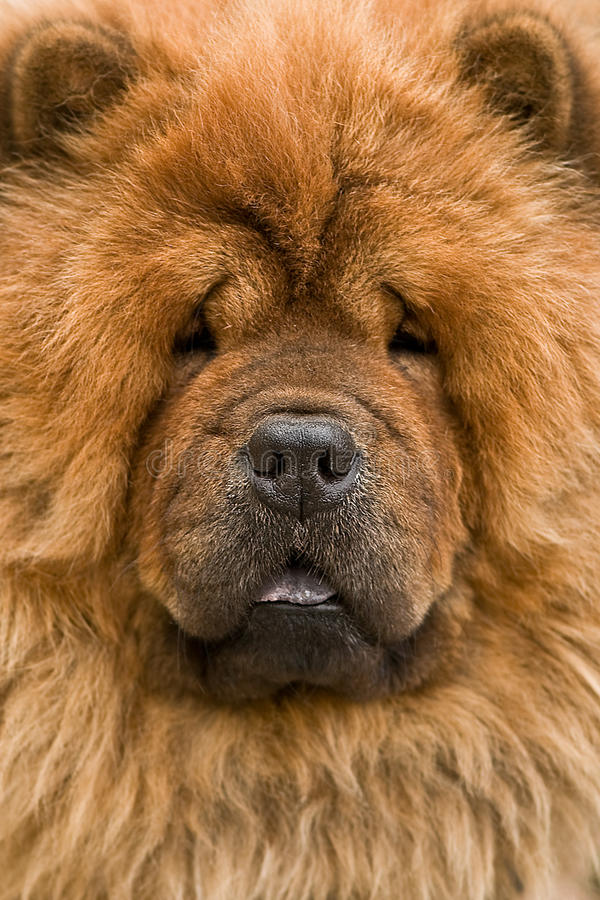 Chow royalty free stock image