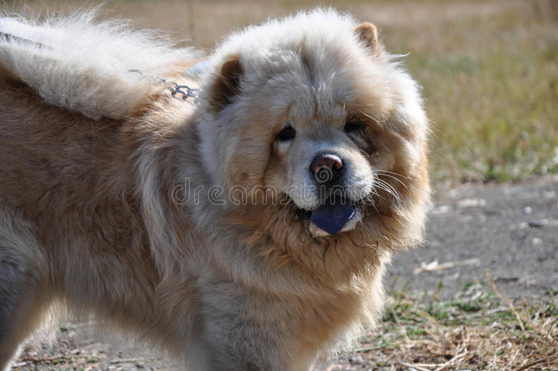 Chow-Chow φυλής σκυλιών στοκ εικόνες με δικαίωμα ελεύθερης χρήσης
