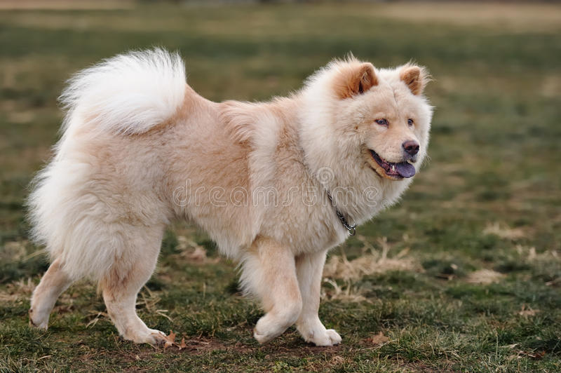 Chow chow stock images