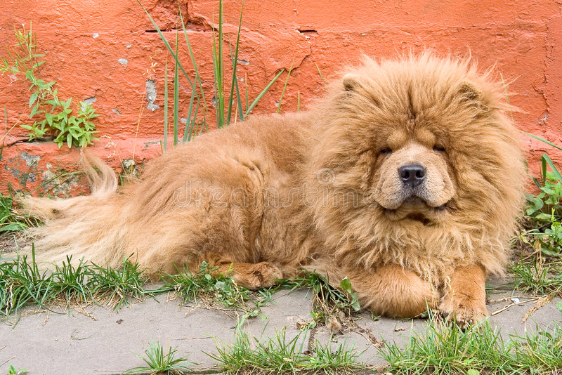 Download Chow-chow 2 stock photo. Image of companion, devoted, breeding - 3149600