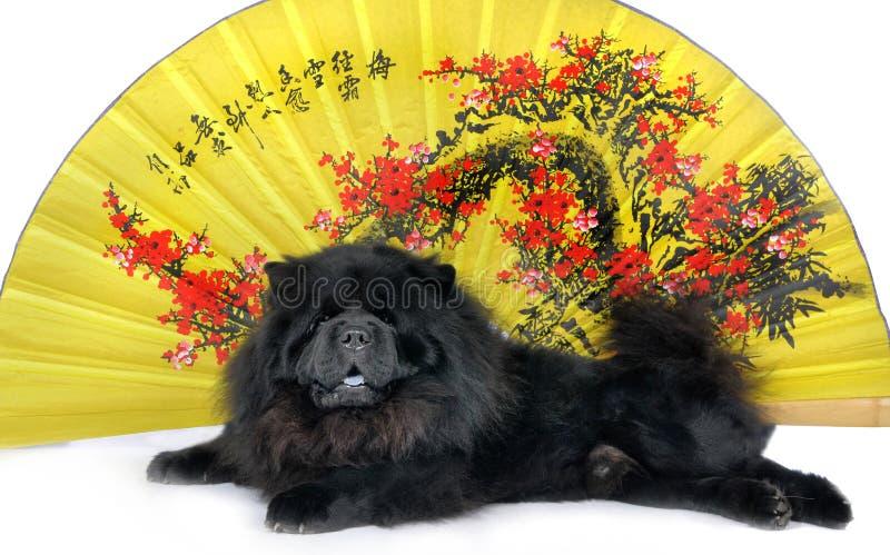 Chow-chow foto de stock