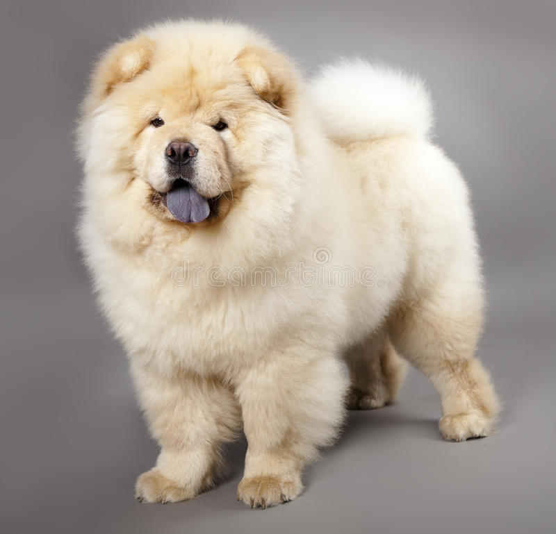 Chow-chow royalty-vrije stock foto's