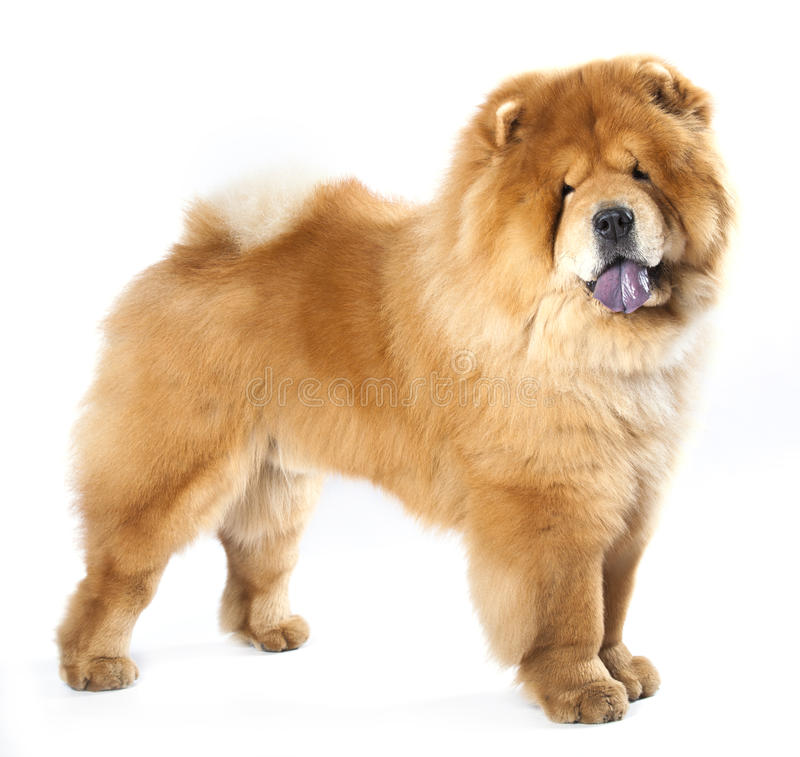 Chow-chow stock afbeelding