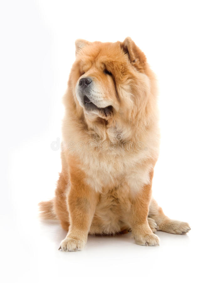 Download Chow-Chow stock image. Image of animal, colorful, exotic - 26842501