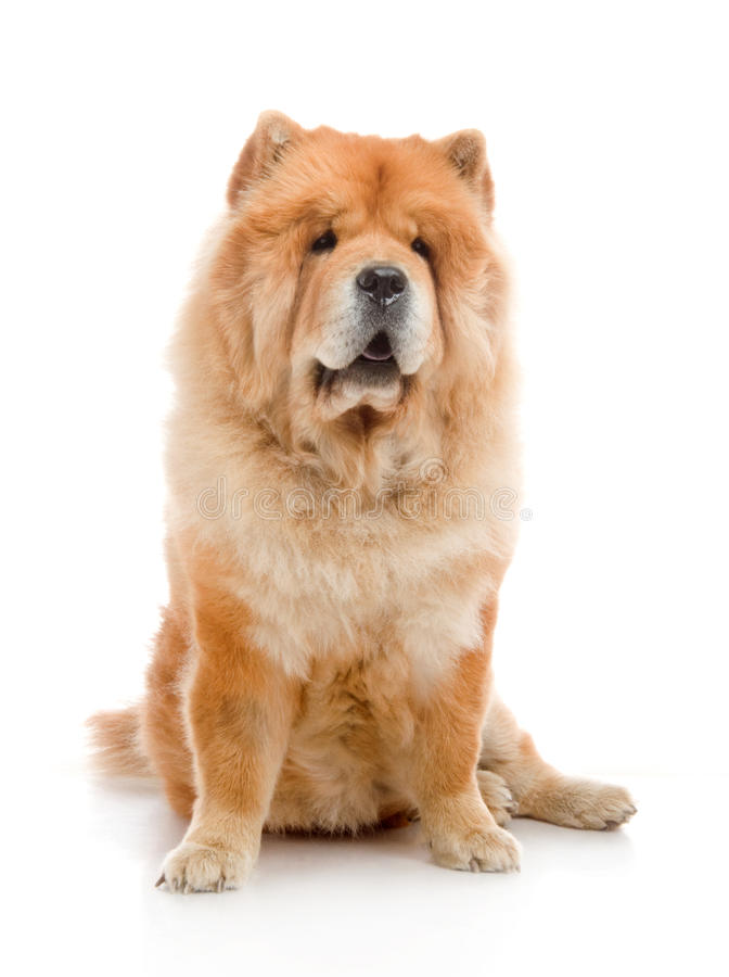 Chow-Chow royalty free stock image