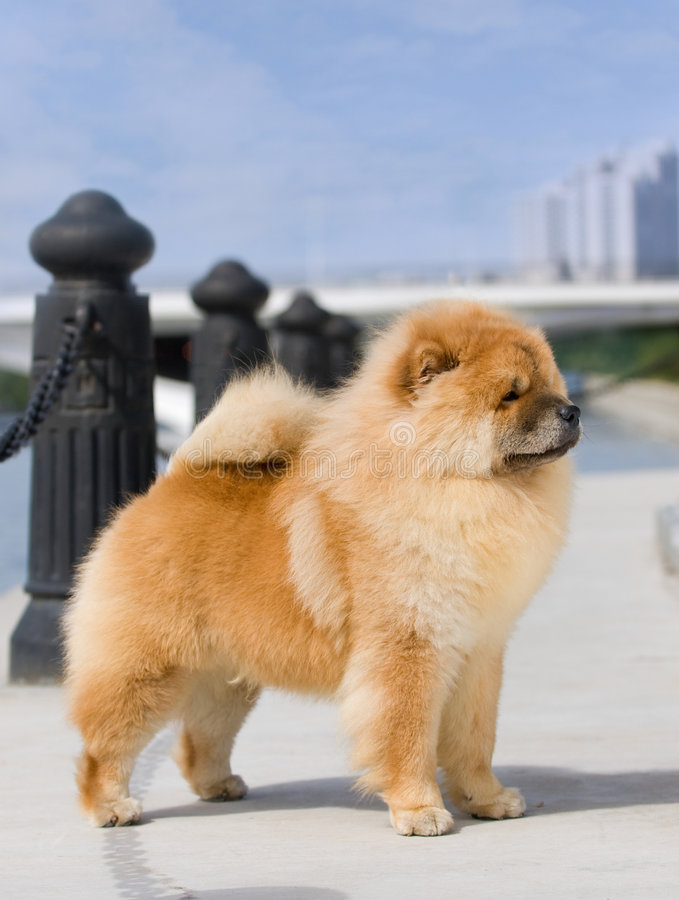 Free Chow Chow Royalty Free Stock Photo - 6786615