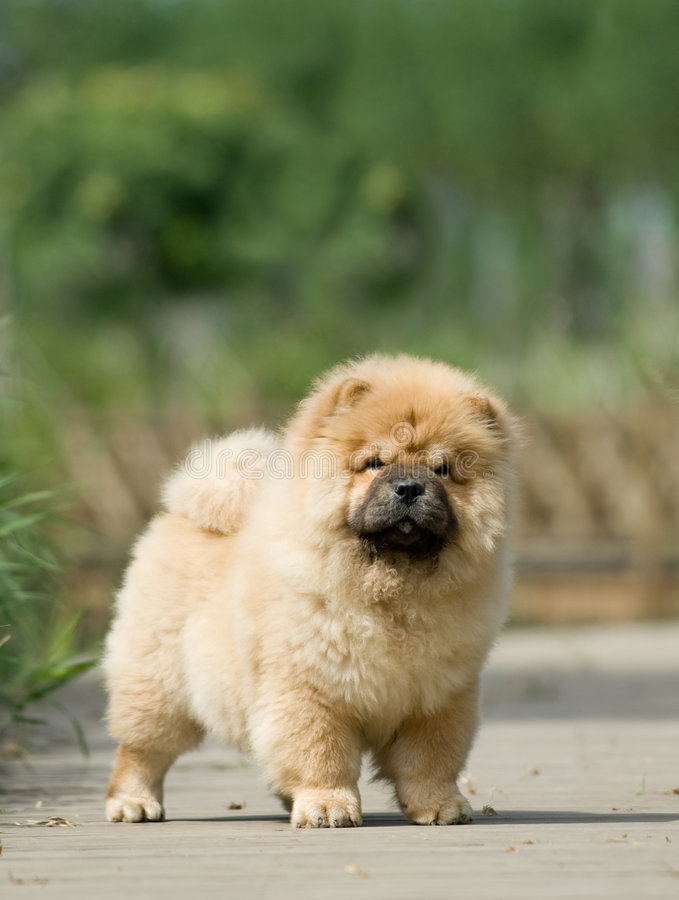 Download Chow Chow stock image. Image of balanced, graceful, nature - 6786629