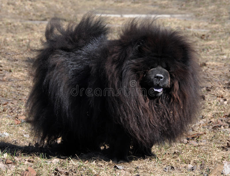 Download Chow Chow black stock image. Image of kennel, cute, black - 31609669