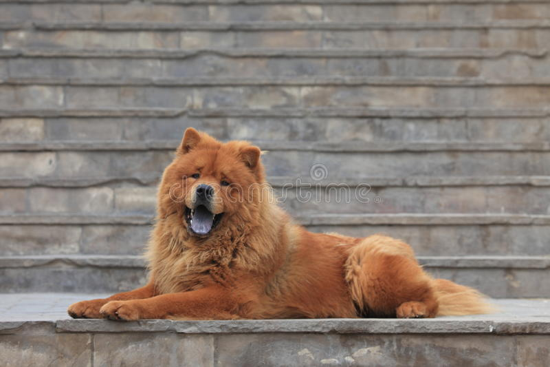 Chow Chow Dog fotografía de archivo libre de regalías