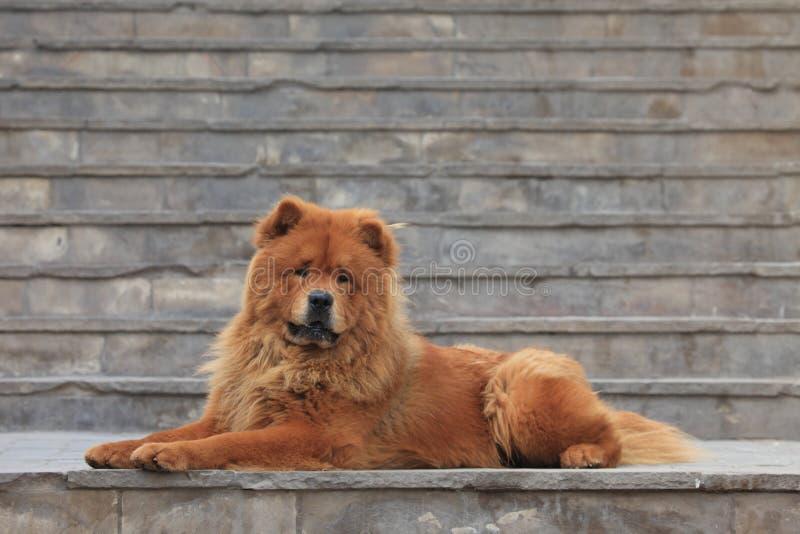 Chow Chow Dog imagens de stock royalty free