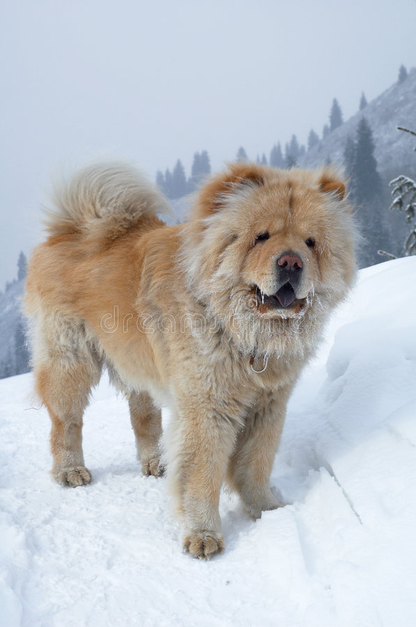 Chow-chow dog royalty free stock photography