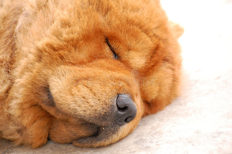 Chow Chow Dog. A Chow Chow dog sleeping on a floor stock images