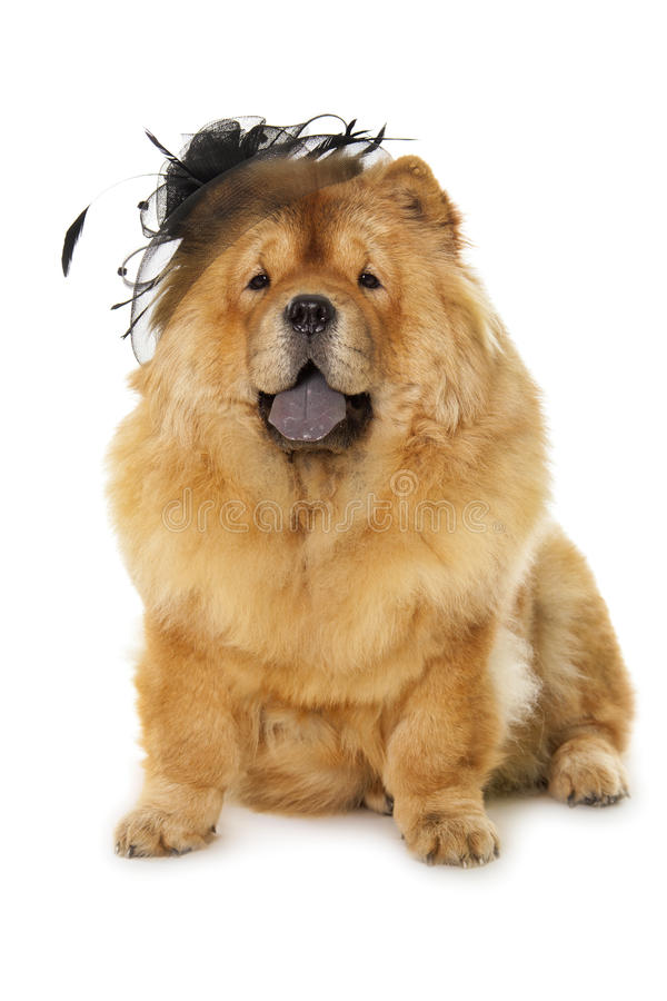 Download Chow-chow dog stock image. Image of little, white, mammal - 35953843