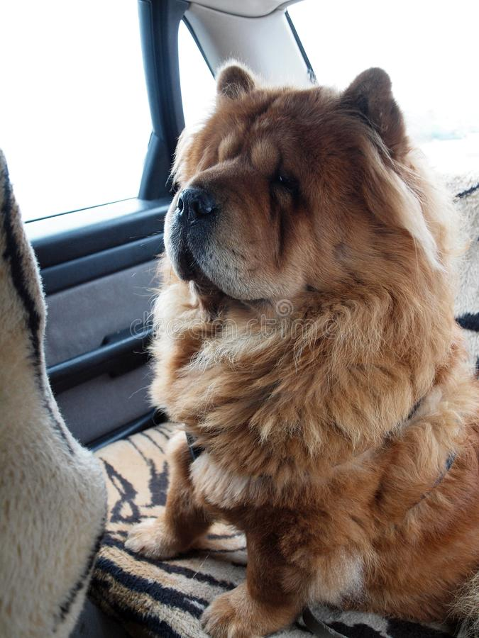 Chow chow dog globetrotter royalty free stock images