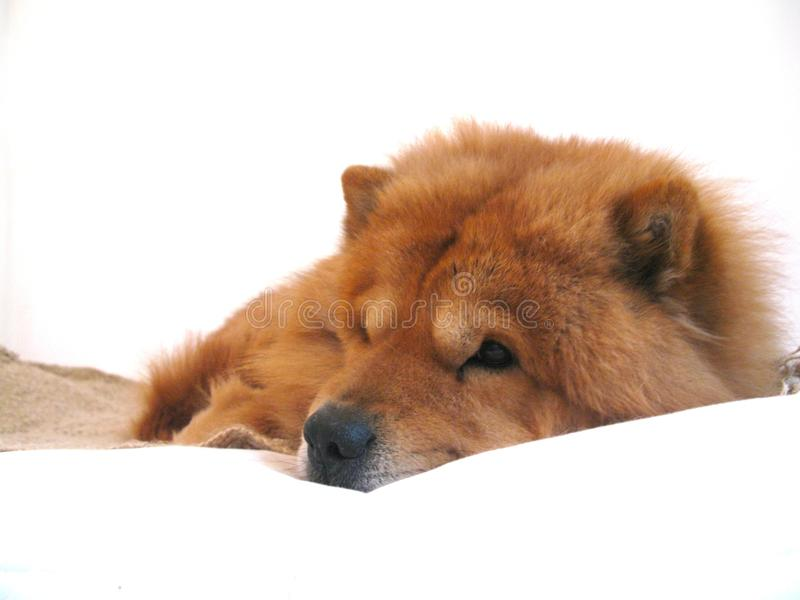 Chow chow dog resting royalty free stock photography
