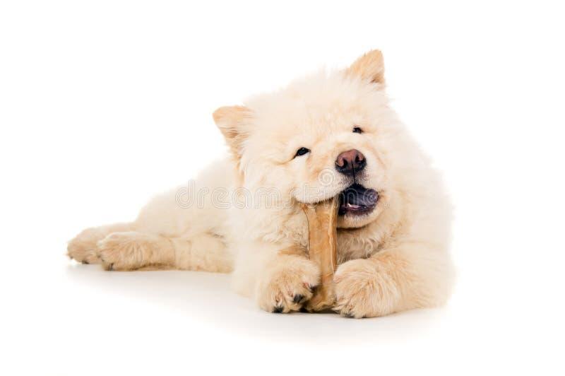 Chow chow eats bone royalty free stock photos