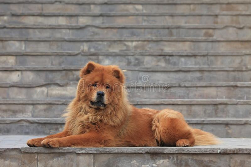 Chow Chow pies obrazy royalty free