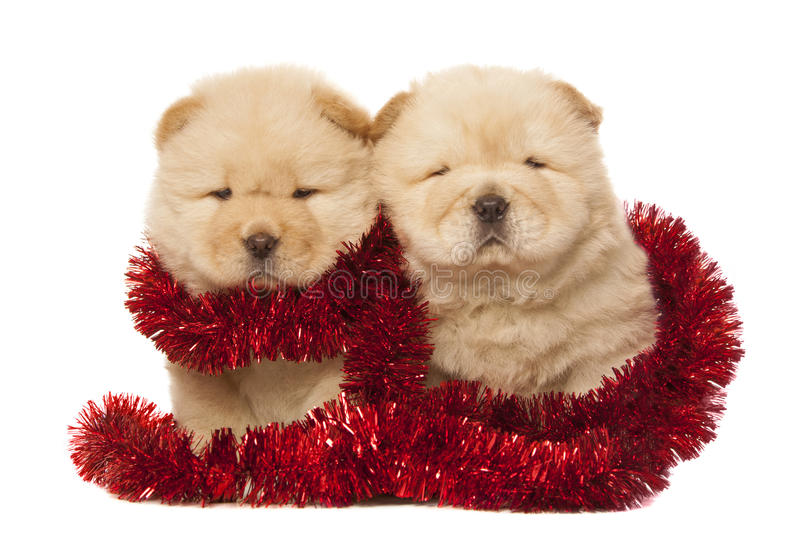 Chow-chow puppies stock photos
