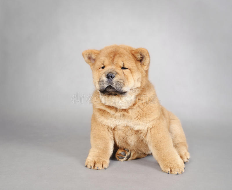 Download Chow chow  puppy portrait stock image. Image of puppy - 27040419