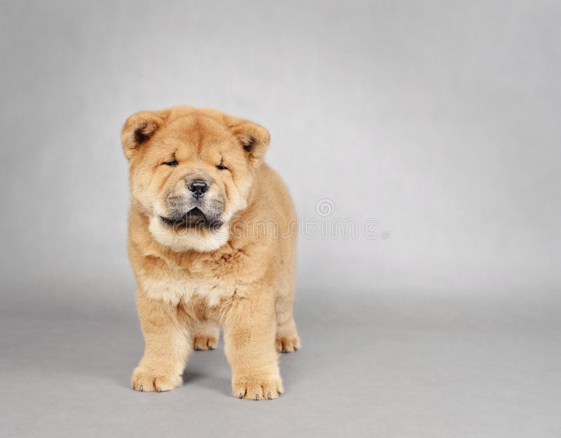 Download Chow chow  puppy portrait stock photo. Image of newfoundland - 27170802