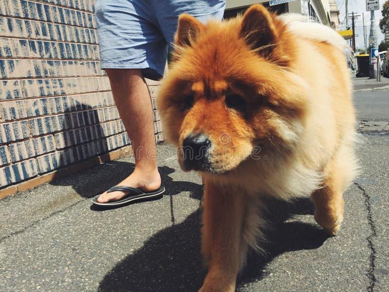 Chow Chow que va para el paseo fotografía de archivo