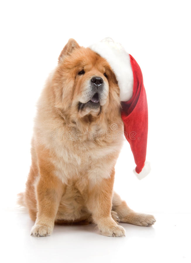 Chow-Chow In A Red Santa Claus Hat Royalty Free Stock Photography