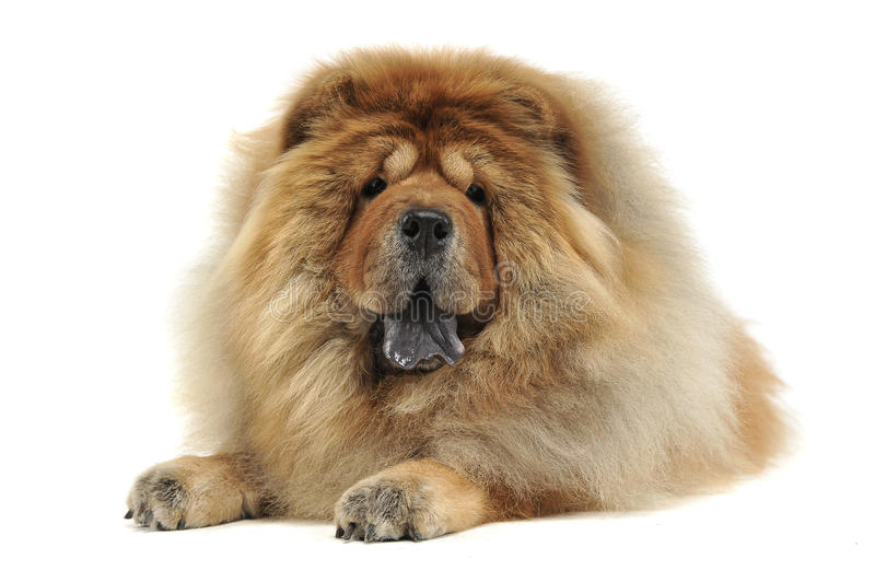 Chow chow relaxing in a white background studio. Chow chow relaxing in white background studio stock photography