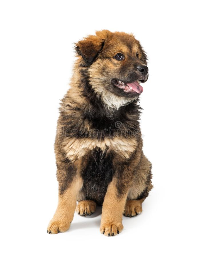 Chow Crossbreed Puppy feliz bonito no branco imagem de stock