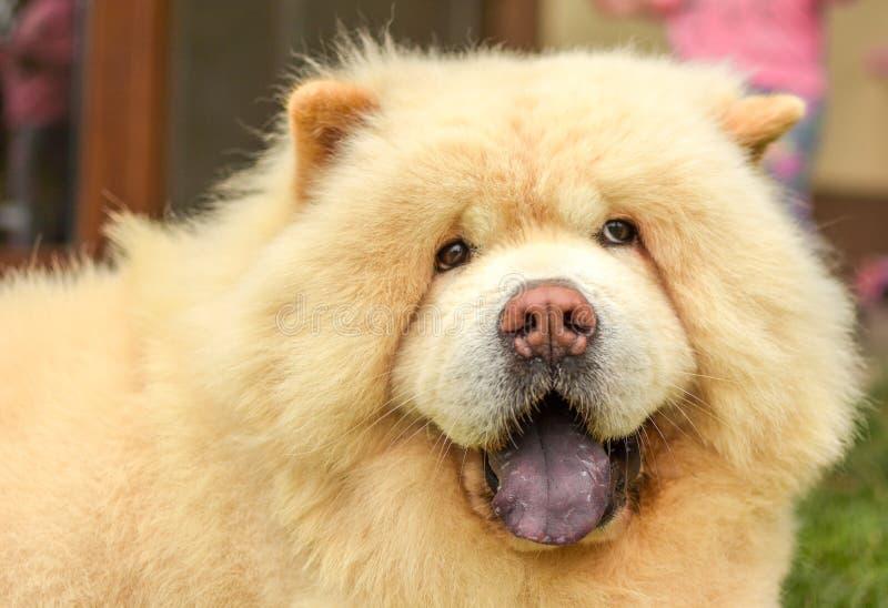 Chow Chow den bästa hunden royaltyfri illustrationer