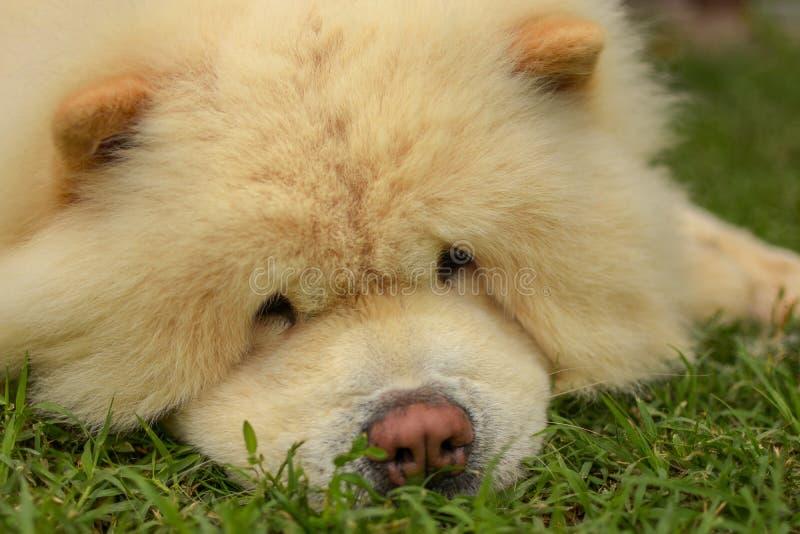 Chow Chow den bästa hunden stock illustrationer