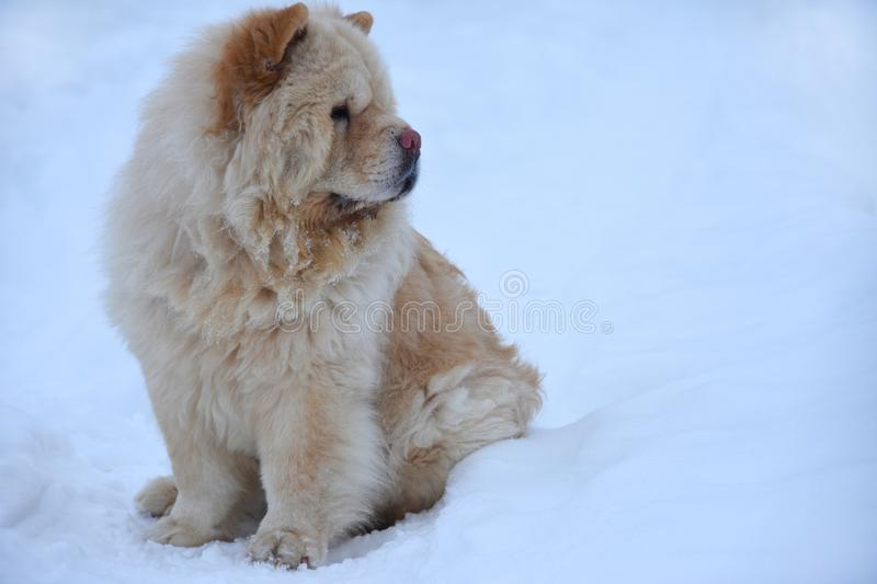 A chow-chow dog sits on the snow and looks away stock image