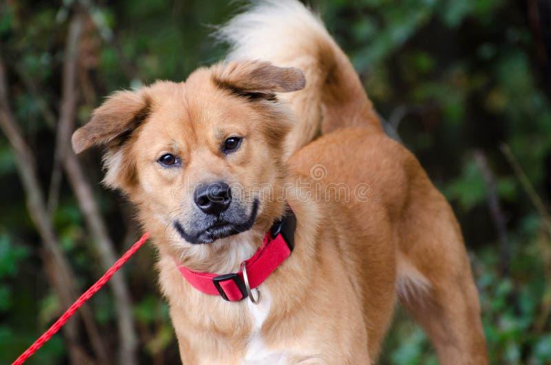Chow Golden Retriever mixed breed dog. Walton County Animal Control, humane society adoption photo, outdoor pet photography stock image