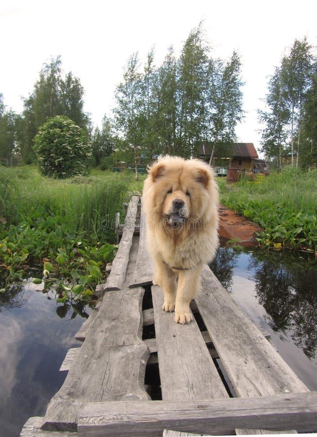 Chow, odpoczywa w wiosce obrazy stock