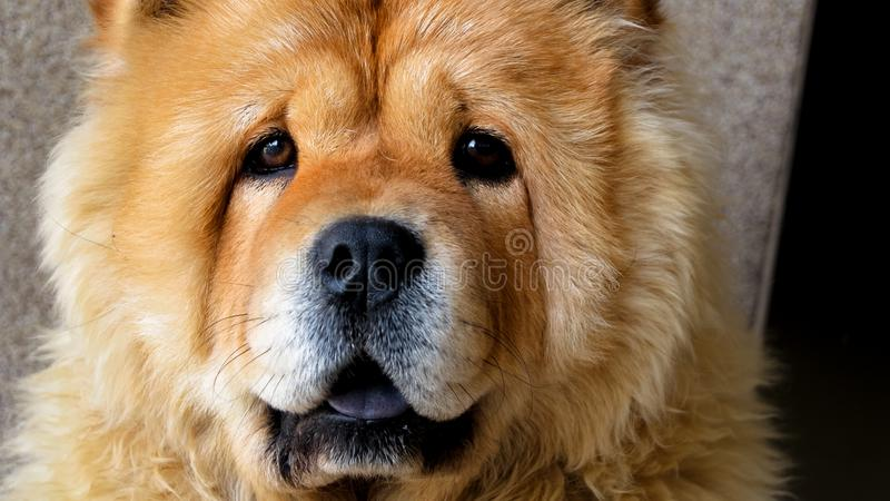 Chow pies obraz stock