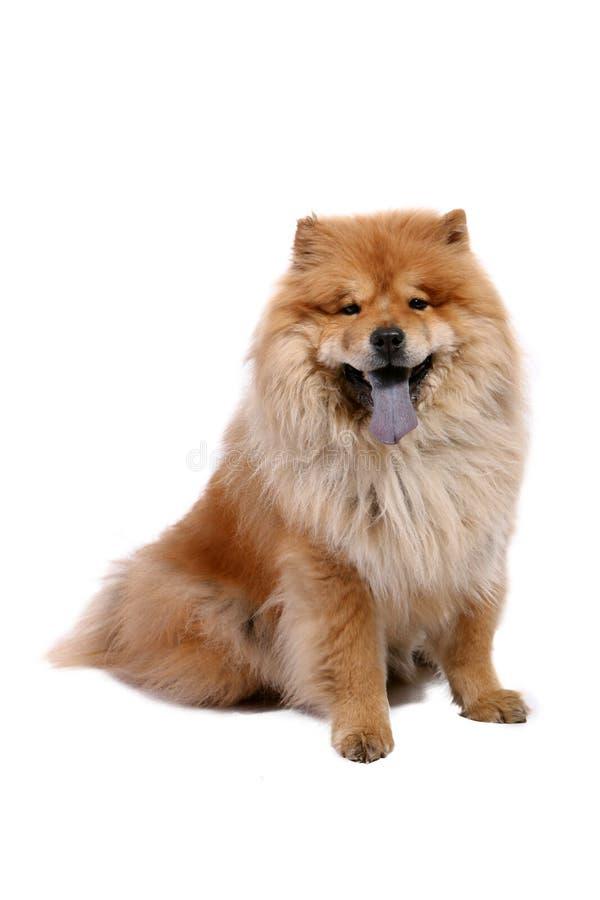 chow pies obraz royalty free