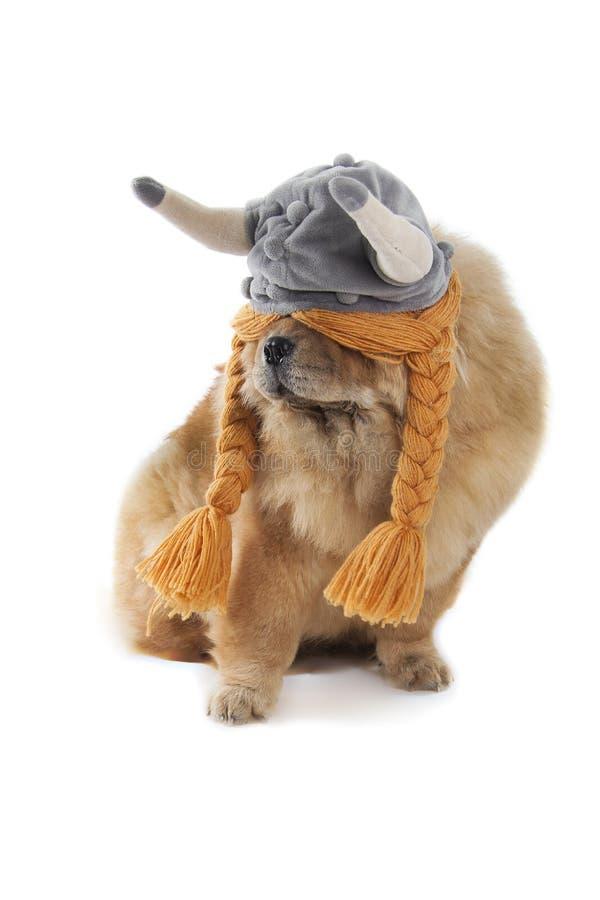 Chow pies z Viking kapeluszem fotografia stock