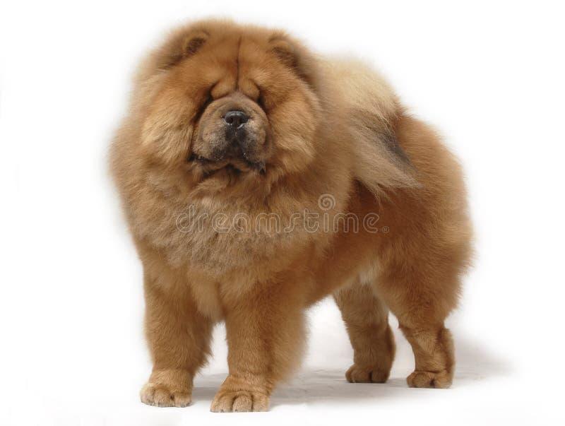 chow psa zwierzę domowe obraz stock