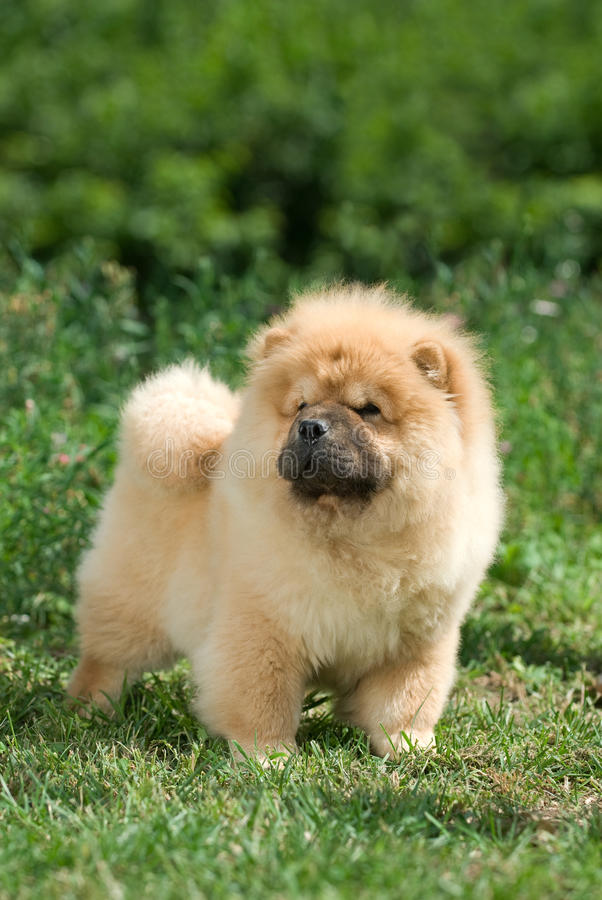 chow psa zwierzę domowe obraz royalty free