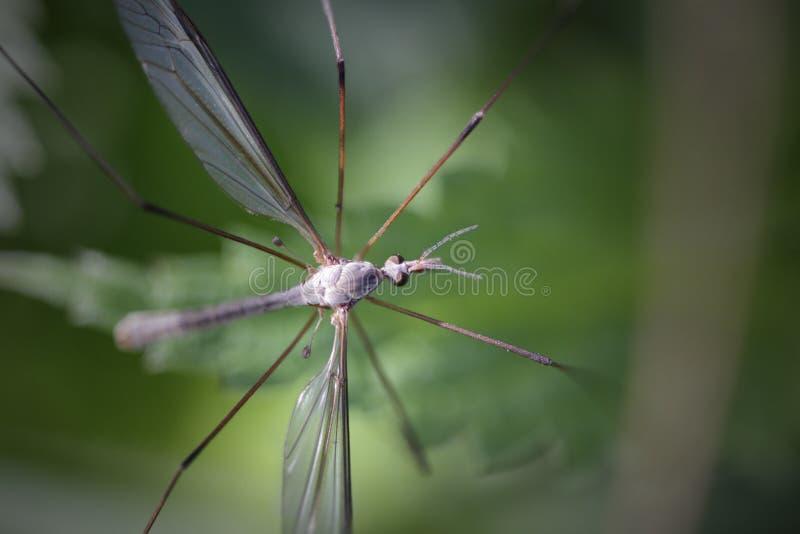 Chowany komar makro- obraz royalty free