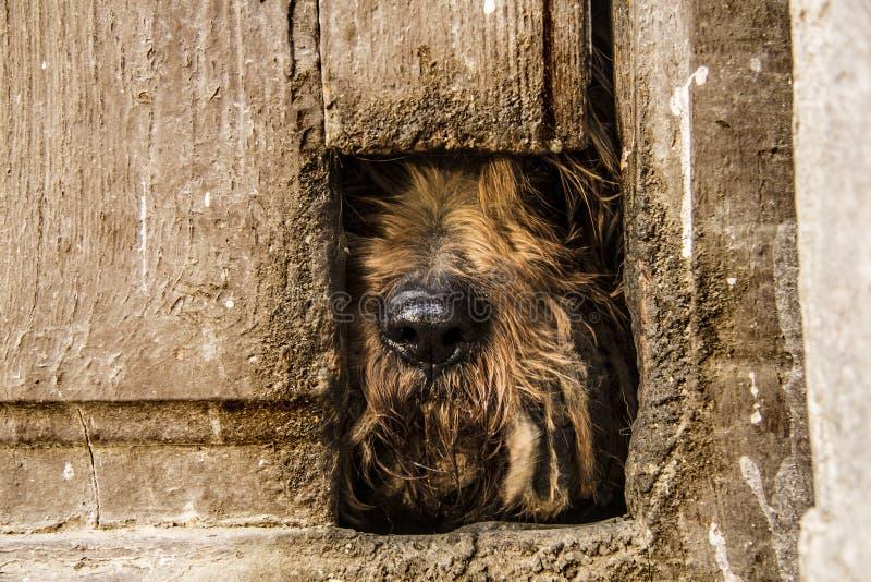 Chowany mały pies w starym drzwi fotografia stock