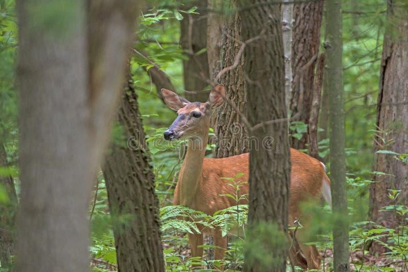 Chowany rogacz w Spokojnym lesie obraz royalty free