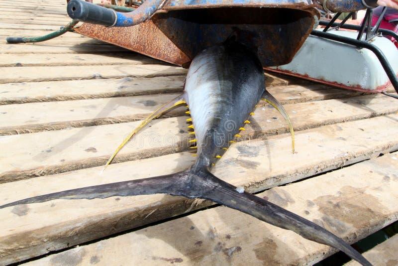 Chowany tuńczyka żółtopłetwowy tuńczyk zakazujący połów zdjęcie royalty free